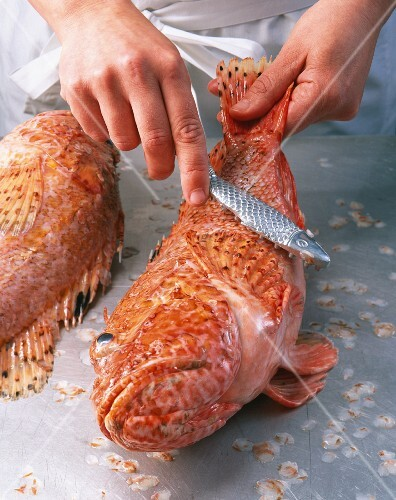 A scorpion fish being scaled
