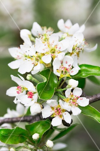 Pear tree blossom on a branch (close up)