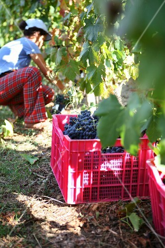 A person harvesting red wine grapes (Douro, Portugal)