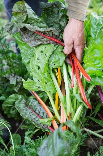Chard from an organic farm in South Tyrol