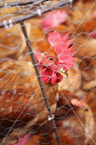 Live hens in a cage