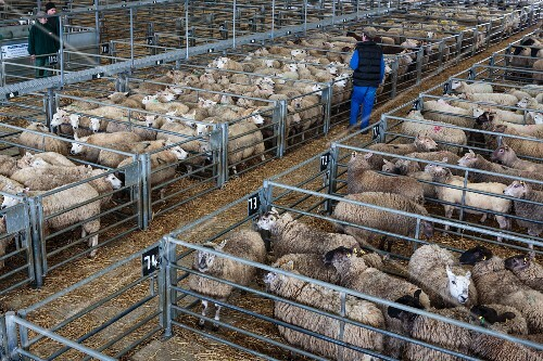 Sheep at a cattle market (Melton Mowbry, Leicestershire, England)