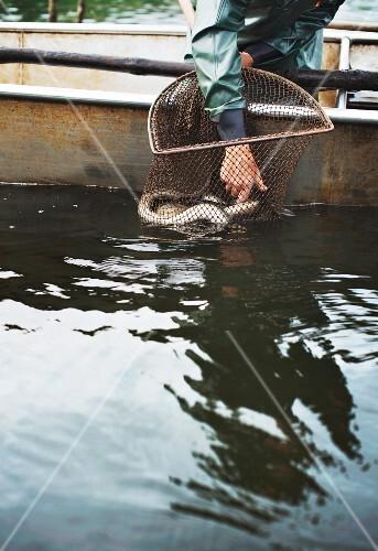 Freshwater fisherman Wolfgang Richter catching eels at Lake Neuendorf (Spreewald, Germany)