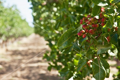 Pistachios on a tree in a pistachio plantation