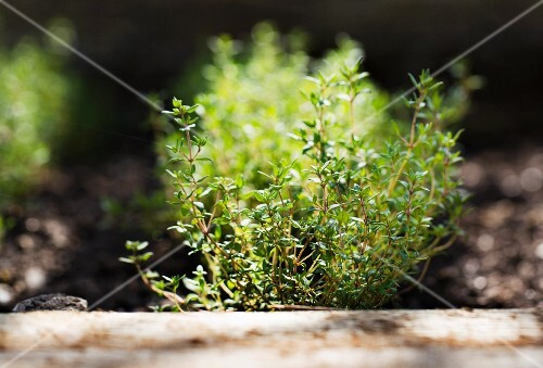 Thyme plants in a garden