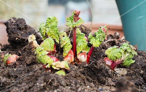 Young rhubarb plants in a garden