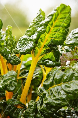 Yellow-stemmed chard growing in a garden