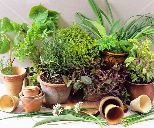 Various fresh herbs in terracotta pots