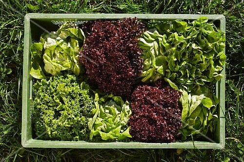 Freshly harvested lettuce in a crate