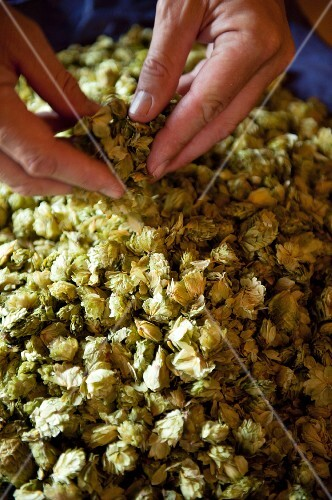 Checking hops umbels for a beer brewery (Germany)