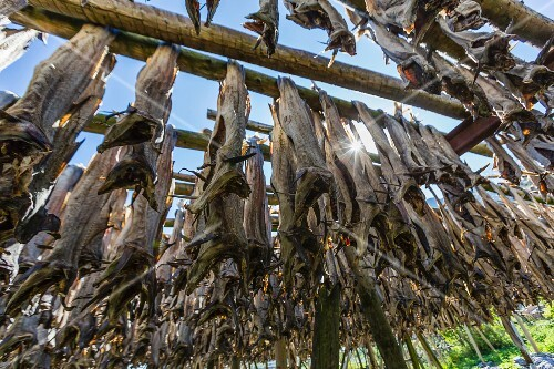 Cod hanging on a large wooden frame to dry in a fishing village on the Lofoten Isles, Norway