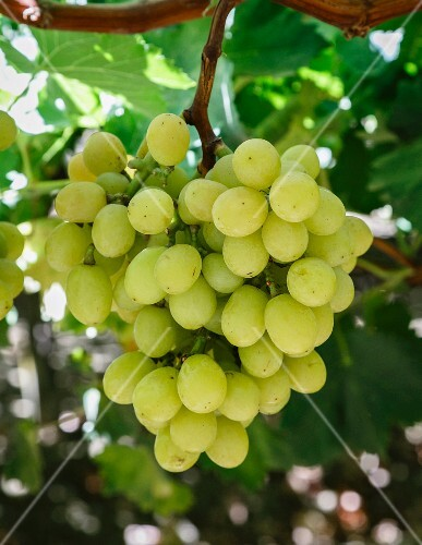 Green grapes in San Joaquin Valley, California