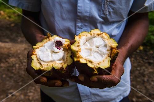 Mann hält eine offene Kakaobohne auf der Plantage Roca Monte Cafe, Sao Tome, Afrika