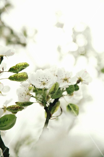 A flowering pear tree (detail)