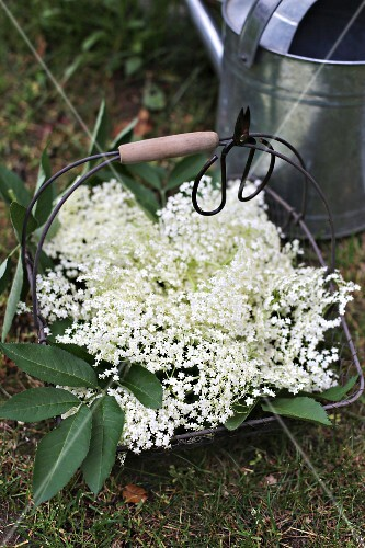 Wire basket of elderflower and vintage scissors in front of zinc watering can