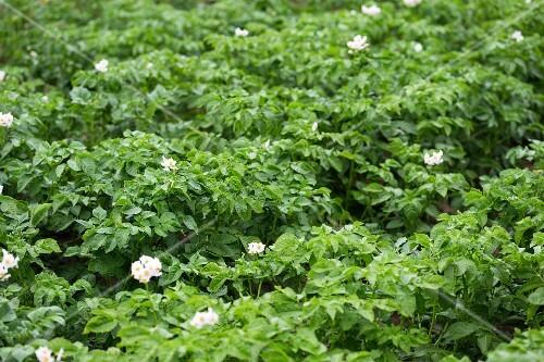Flowering potato plants in a field