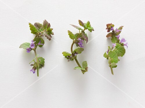 Fresh ground ivy
