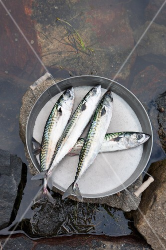 Fresh mackerel on a metal tray in water (seen from above)