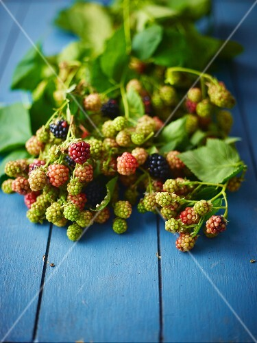 A sprig of ripe and unripe wild blackberries