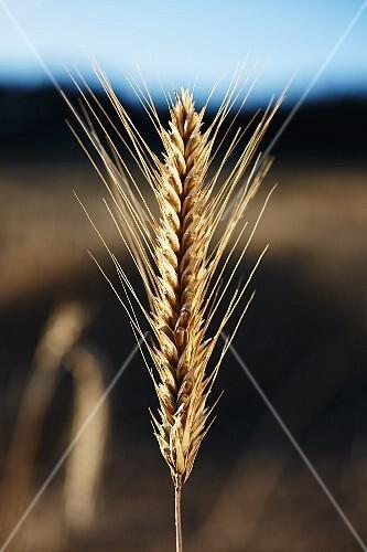An ear of rye