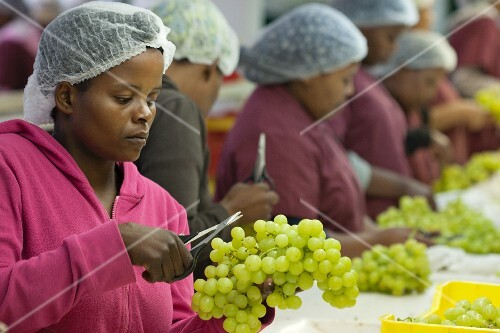 Workers preparing grapes for packaging