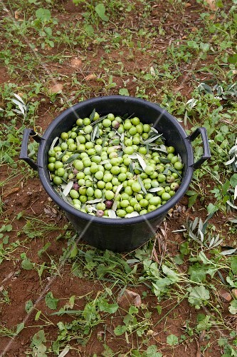 Freshly harvested olives in a bucket (Trapani, Sicily, Italy)