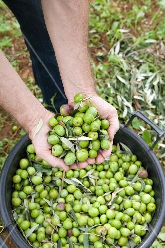 Freshly harvested green olives (Trapani, Sicily, Italy)