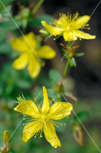 Flowering St. Johns' wort (close-up)
