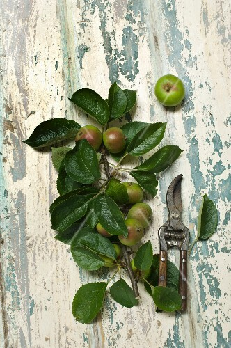 Apples on a tree branch with a pair of garden shears on a rustic wooden table