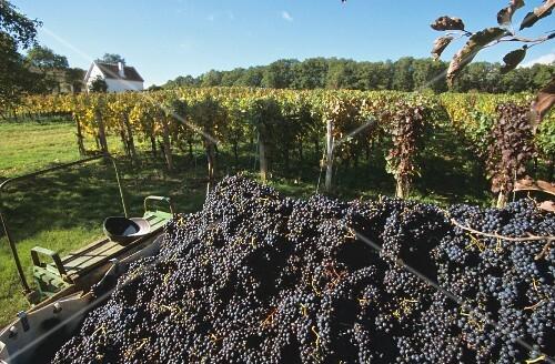 Blaufränkisch grapes being sorted in Burgenland, Austria