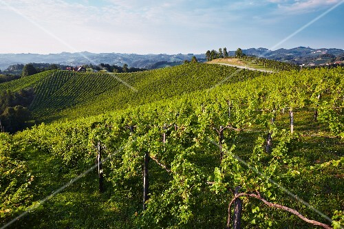 A vineyard in Southern Styria, Austria