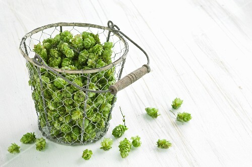Hops (humulus lupulus) in a wire basket