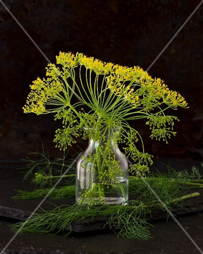 A vase of dill flowers surrounded by fresh dill