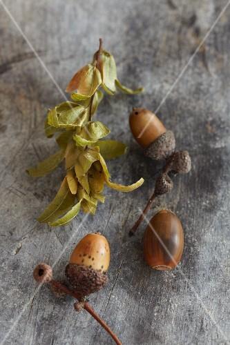 American white oak acorns