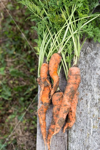 Freshly picked carrots on a rustic wooden table