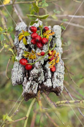 Sprigs of rose hips lying on piece of pear tree bark in rose bush