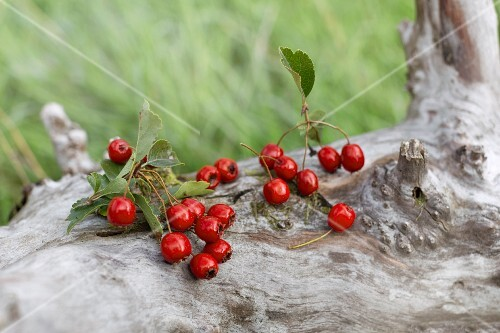 Fresh hawthorn berries outside on a fallen tree
