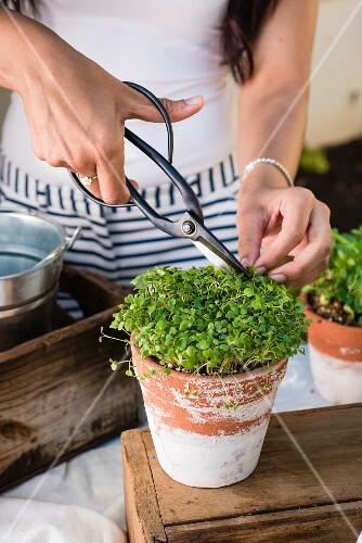 Awoman cutting fresh cress in a flowerpot