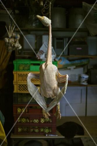 A dead goose hanging in butcher's shop
