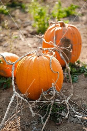 Three pumpkins in a field