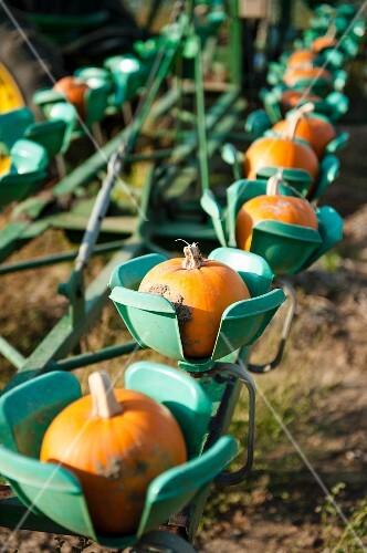 Pumpkins in a harvesting machine