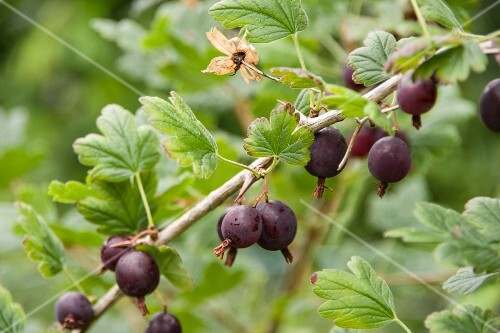 Black honeyberries on a bush