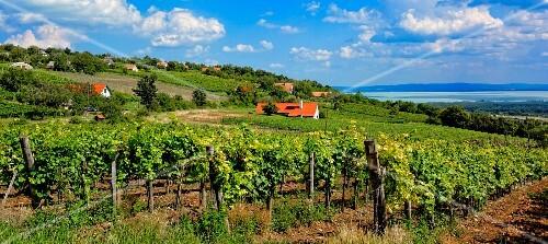 Badacsony – Csopak wwinegrowing region with a view of Lake Balaton, Hungary