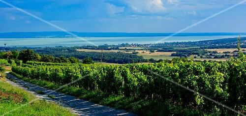 Winegrowing region Balatonfüred – Csopak with a view of the lake, Hungary