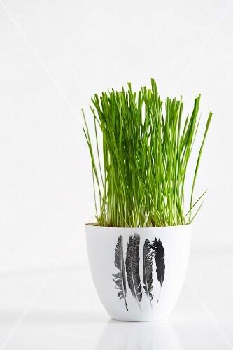 Wheatgrass in a flower pot