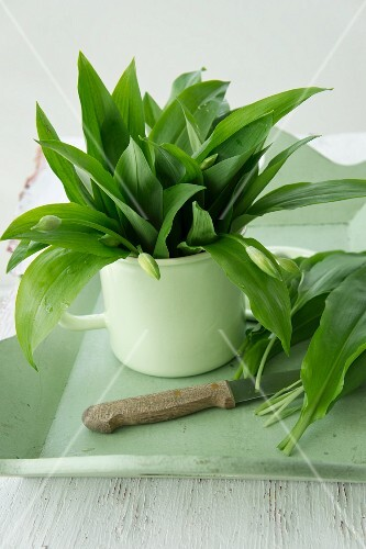 Wild garlic leaves and buds in an enamel pot
