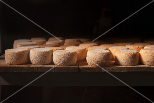 Young goat's cheeses ripening in a cellar