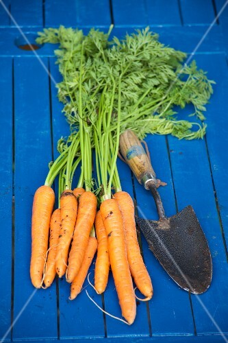 Organic carrots with a trowel