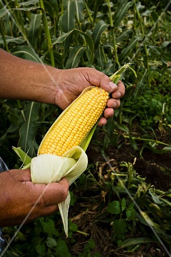 A farmer holding a fresh corn cob