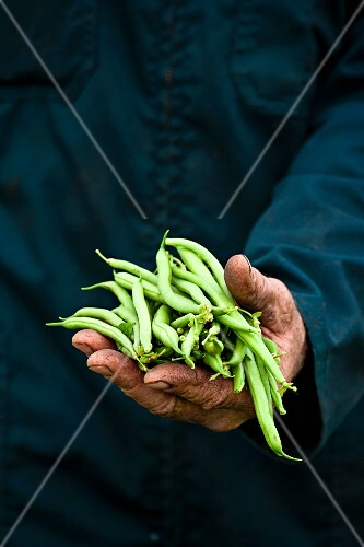 A farmer holding freshly harvested green beans